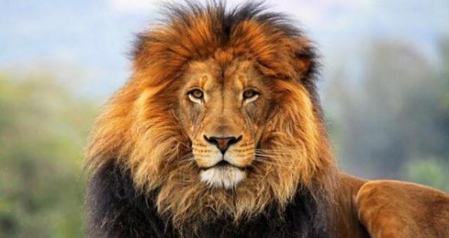 Afrika'da aslan nüfusu tehlike altında