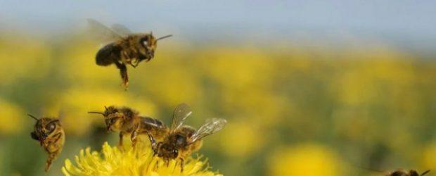 Tarım ilaçları tahmin edilenden fazla arı öldürüyor