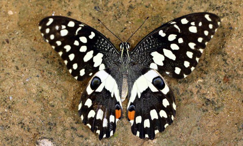 """Kıbrıs'ta yeni bir kelebek türü: """"Nusaybin Güzeli"""""""