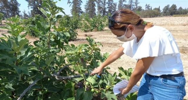 Ülkede en iyi özelliklere sahip incirler belirlendi