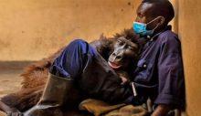 Selfie yıldızı goril bakıcısının kollarında can verdi