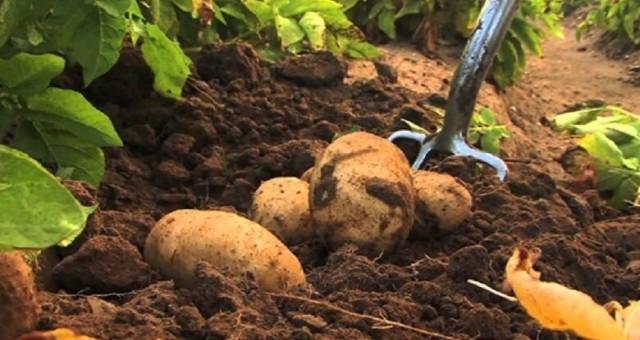 İlkbahar patates ekimi yapılan arazilerin beyan süresi yarın sona erecek